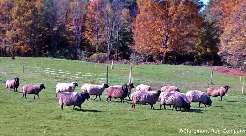 Herd of karakul sheep whose wool is used for Claremont's rug restoration.